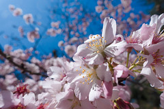 Cherry blossom in Huntington Library in 2018(close up)