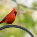 Male Cardinal on our bird feeder