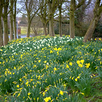 Early Spring dafs