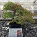 Japanese Maple Bonsai, Kew Gardens, August 2017 (1)