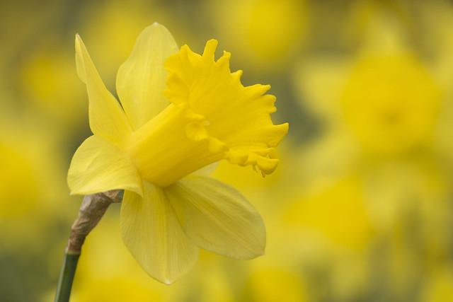Daffodils, Fujifilm X-T1, XF55-200mmF3.5-4.8 R LM OIS