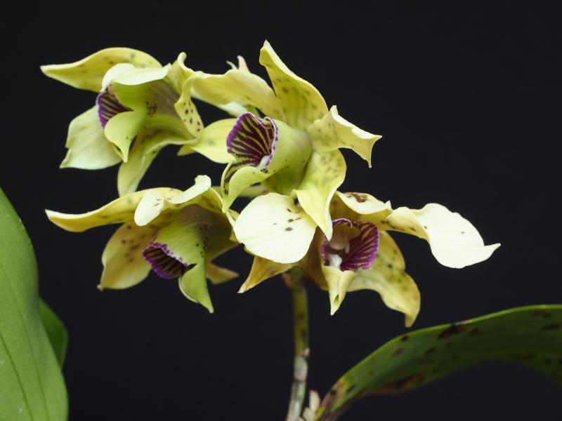 Les Orchidées chez Cloo en 2018 - Page 6 26269203007_c587471010_o