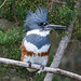 Belted Kingfisher---Megaceryle alcyon by Dave_Lawrence