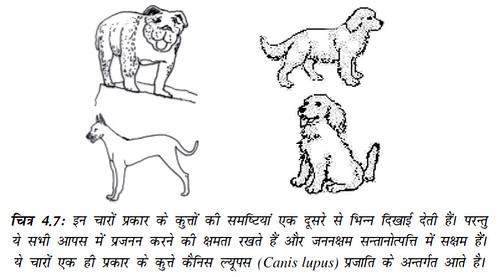 चित्र 4.7 ये चारों एक ही प्रकार के कुत्ते कैनिस ल्यूपस (Canis Lupus) प्रजाति के अन्तर्गत आते हैं