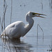great white egret 11 2018 with fish