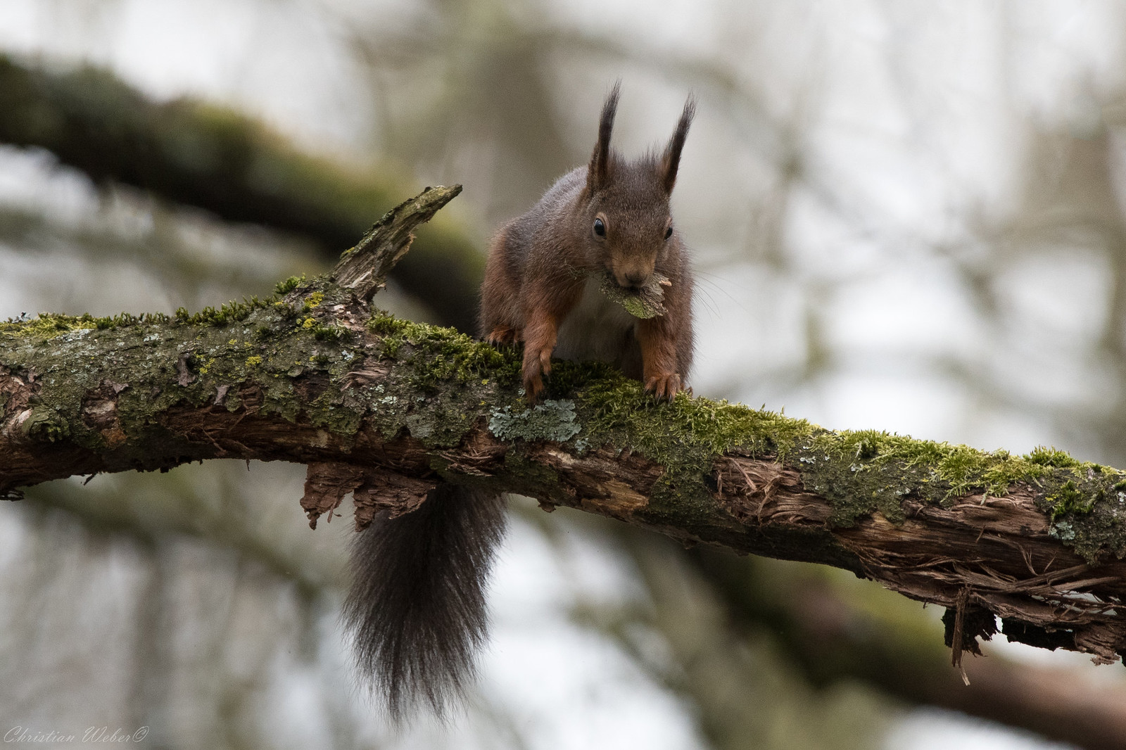 DSLR-Forum - Sammelthema Zeigt eure Eichhörnchen !!!