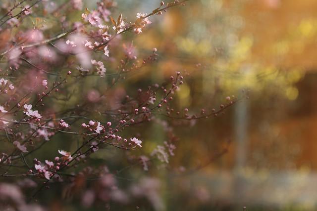 Blossom Forsythia