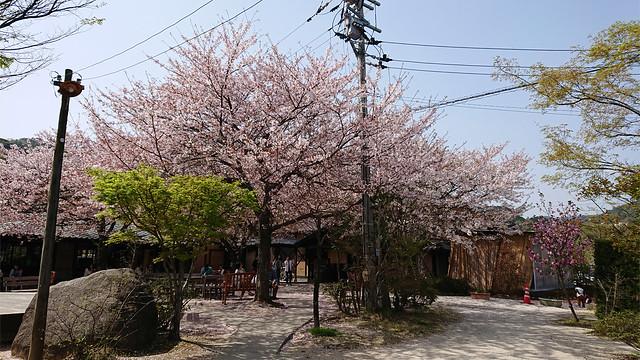 梅の花・佐賀神埼村①