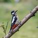 Woodpecker. Buntspecht. by Andreas Michels