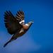 Wood Pigeon in Flight