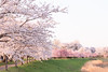 Photo:Cherry Blossoms By t.kunikuni
