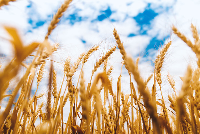 #PicOfTheDay Field of wheat