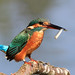 Kingfisher with Fish impersonating a Wren