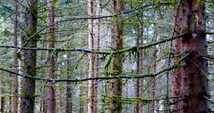 Campan (FR-65) - Forêt de conifères