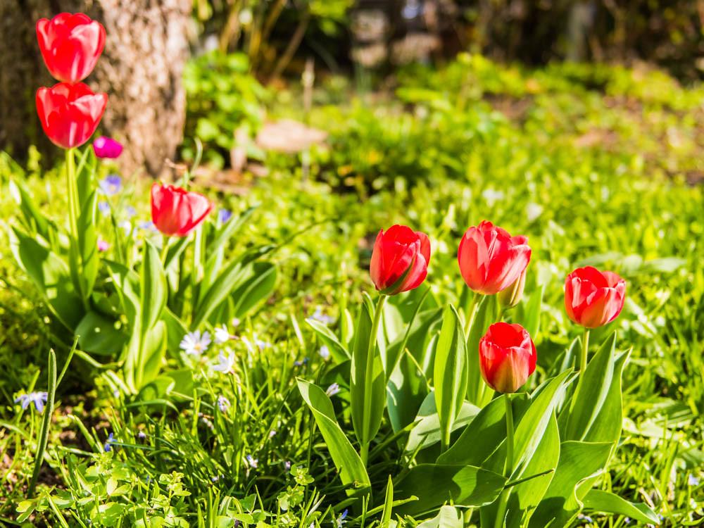 Tulpen_008