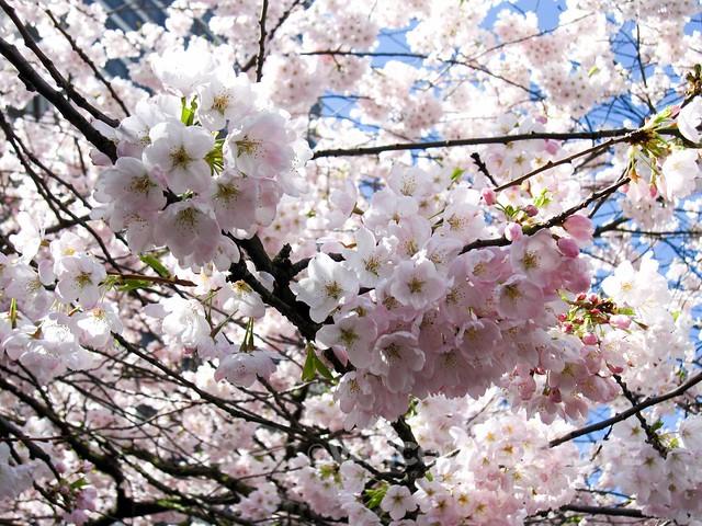 Cherry Blossom Festival-4
