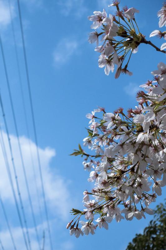 今年の桜-20180401-1