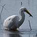 great white egret 14 2018 with fish