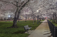 Not the Tidal Basin Cherry Blossoms