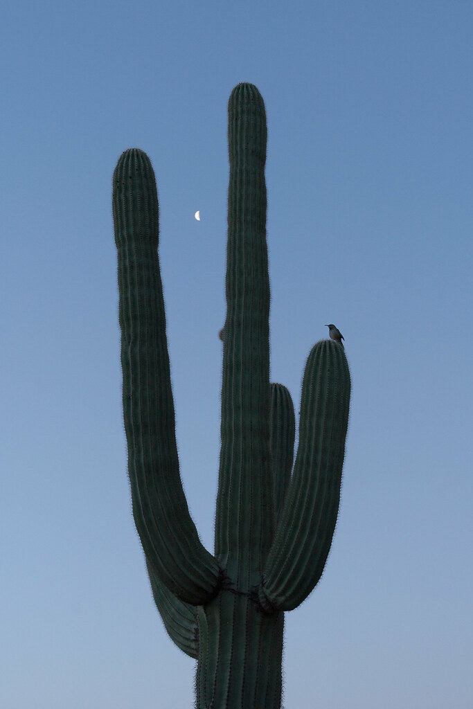 A cactus wren perches on a saguaro cactus with the moon in the background