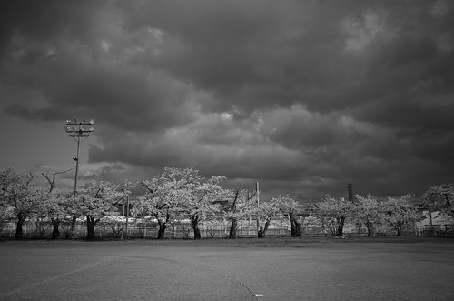 内野の桜 2018 monochrome
