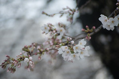 Somei-Yoshino sakura began to bloom