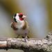 Goldfinch - Elmley NNR IMG_4256