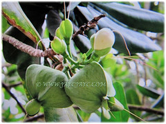 Unripe fruits of Barringtonia asiatica (Poison Fish Tree, Fish-killer Tree, Beach Barringtonia, Sea Poison Tree, Box Fruit, Putat Gajah/Laut in Malay), March 24 2018