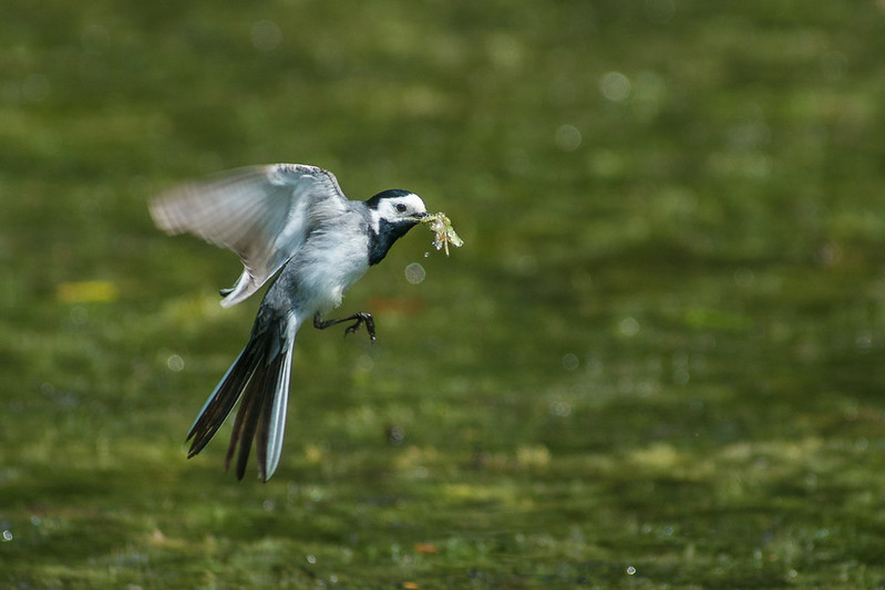 Pied wagtail (Motacilla alba) feeding on the pond