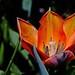 Tulpe (Tulip) by dl1ydn