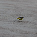 Male yellow wagtail, delicately stepping