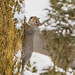 Tree squirrel on ascent