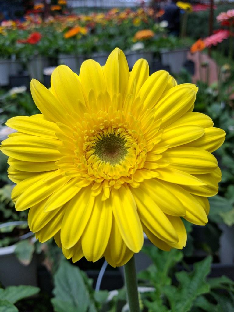 Gcam Note FE (Flowers)