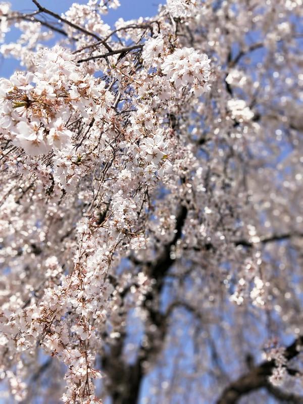 谷中の長明寺の枝垂れ桜