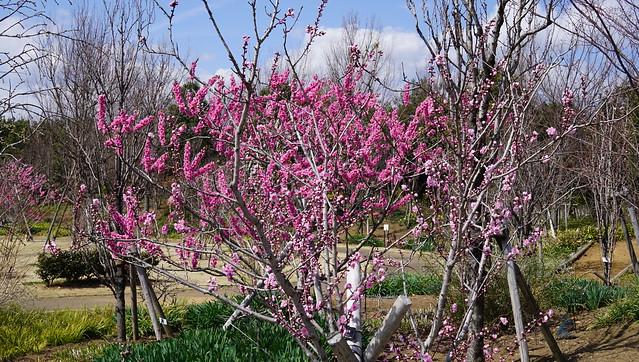 DSC07381花菜ガーデン