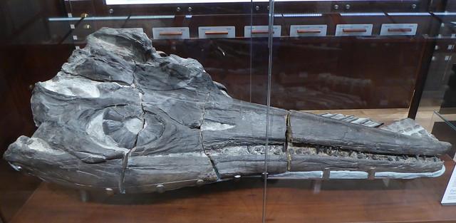 Ichthyosaur head in Geology Gallery, Lyme Regis Museum