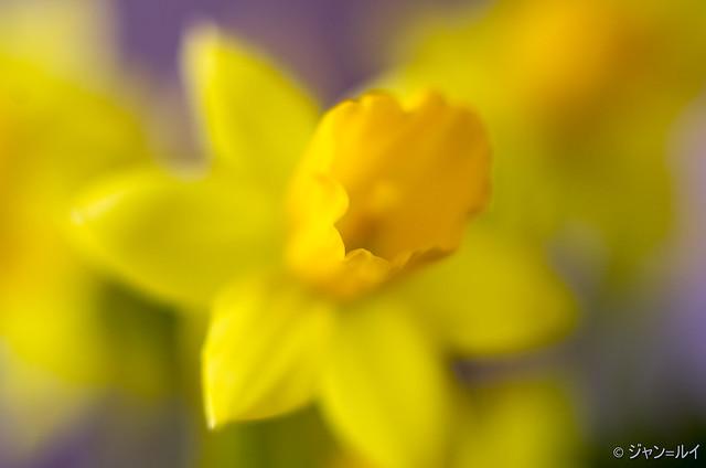 Narcisse, Pentax K-5, smc PENTAX-FA 50mm F1.4