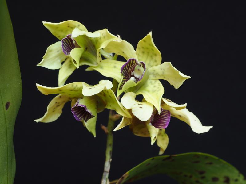 Les Orchidées chez Cloo en 2018 - Page 6 40429258854_f1b8973dd5_o