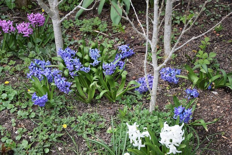 Hyacinth 09.04 (3)