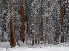 Winter Sequoia Grove