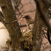 Mistle Thrush nest