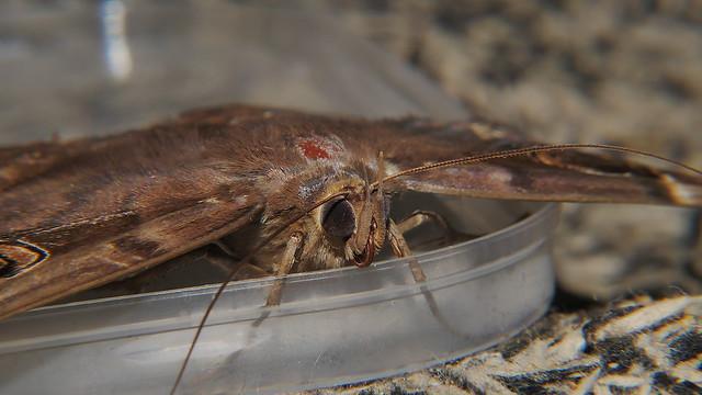 After Big night white spotted Owl moth Erebus sp aff crepuscularis Erebinae Erebidae on door mat Airlie Beach P1220960