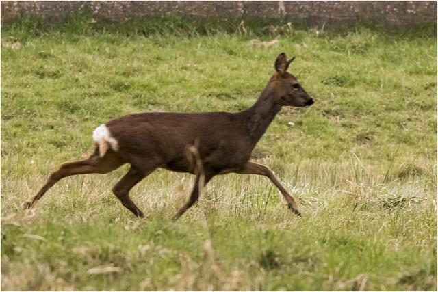 Roe-deer_MG_4970