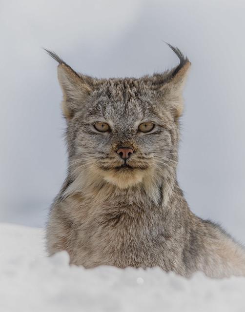 Portrait Lynx du Canada  -  Lynx Canadensis  -  EXPLORE 2018-03-19
