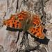 Butterfly - Comma