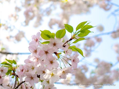 Cherry blossoms 20180403 #05