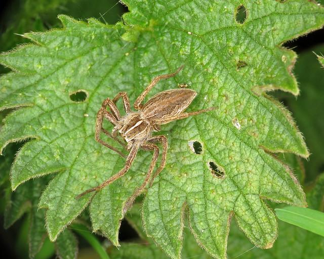 Nursery Web Spider - Pisaura mirabilis