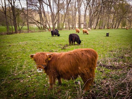 Ilmtal-Radweg - Highland Cattle