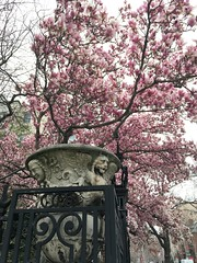 Pink magnolia in bloom and carved urn, Cosmos Club, Washington, D.C.