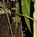 Small photo of Enyalioides sp.